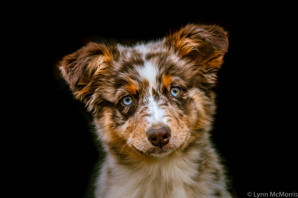 Dixie, the Australian sheep dog portrait.